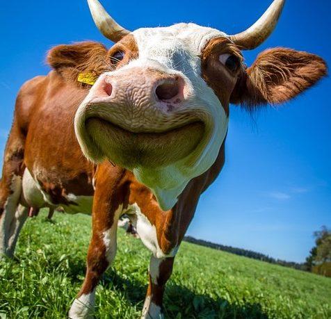 Britanske krave dobile 5G prije ljudi